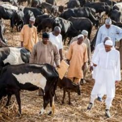 Buhari Being Cattle Owner Cannot Be Fair In Herdsmen's Violence – CDHR